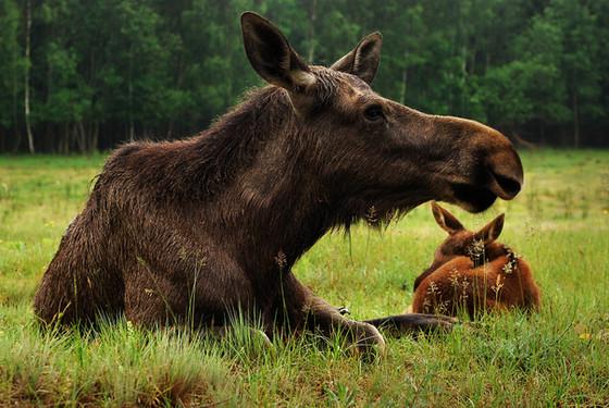 talkeetna-moose-young.jpg