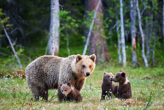 talkeetna-bear-2.jpg