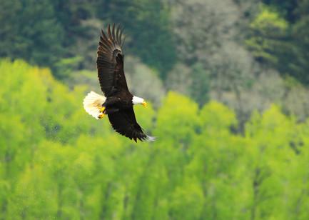 talkeetna-eagle-4jpg.jpg