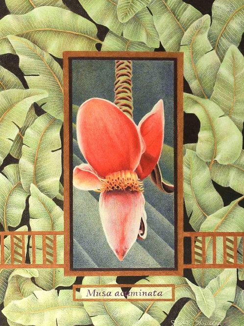 Musa acuminata - Banana Flower