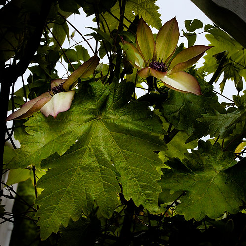 Vine Flowers in the Orangery