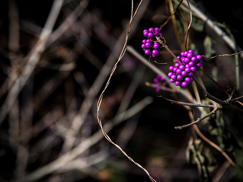 Purple Berries in Winter