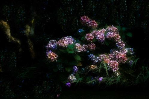 Hydrangeas, Late Evening