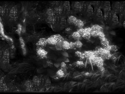 Hydrangeas, Night