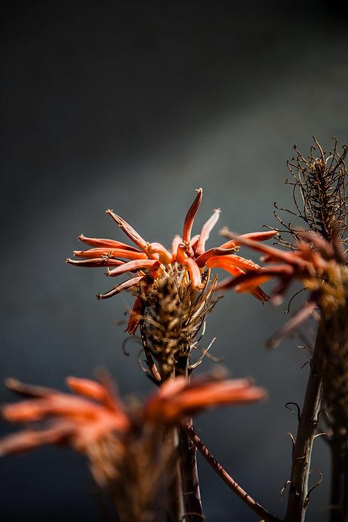 Cadaques Flowers