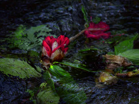 River Flowers Red