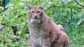 DAY THIRTY NINE   Schweinfurt's Fat Lynx