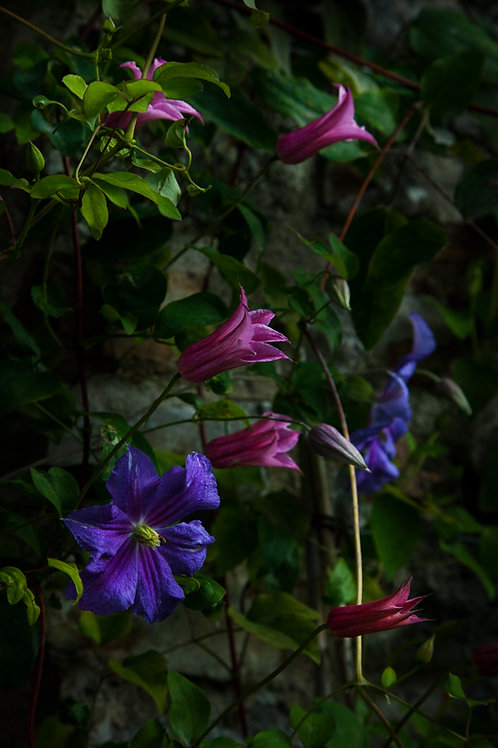 Pink and Blue Clematis