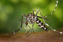 aedes-albopictus-asian-tiger-mosquito-cl