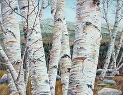 Vermont Birch Grove # 2