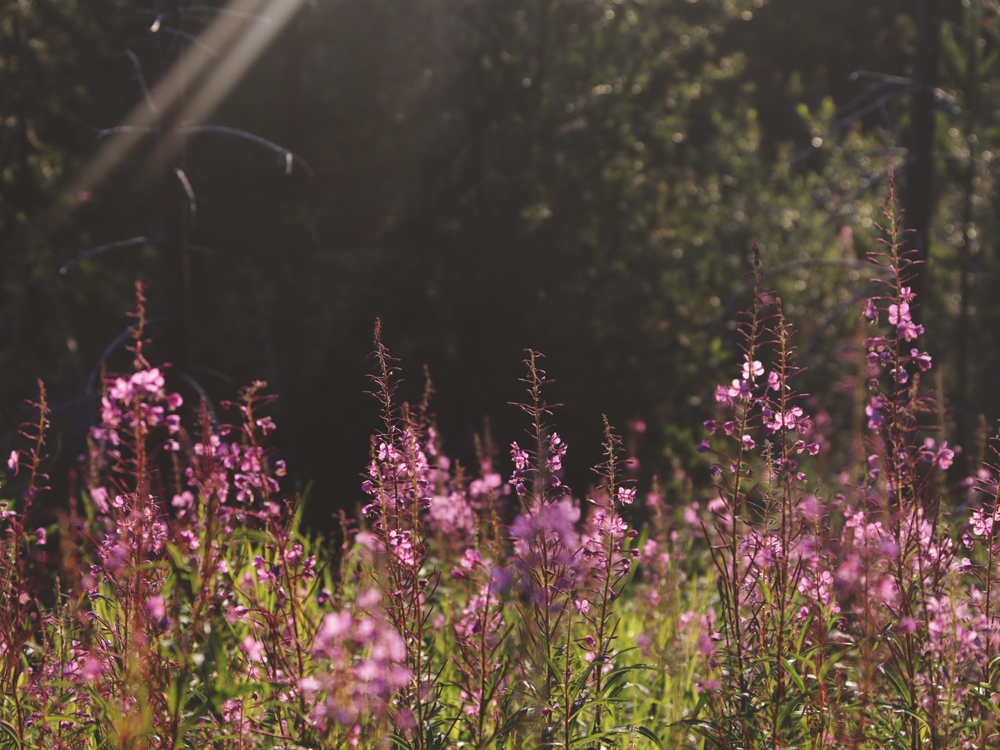 fireweed in the morning.jpg