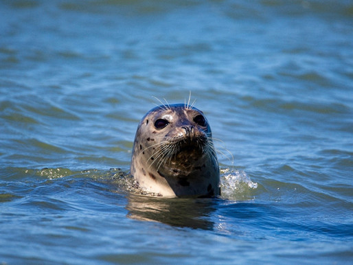 SEALS OF THE THAMES