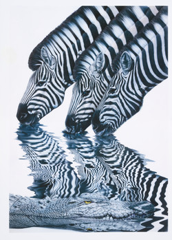Zebras and Alligator