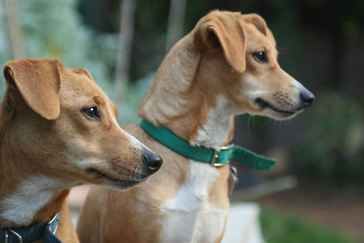 Two dogs staring alertly