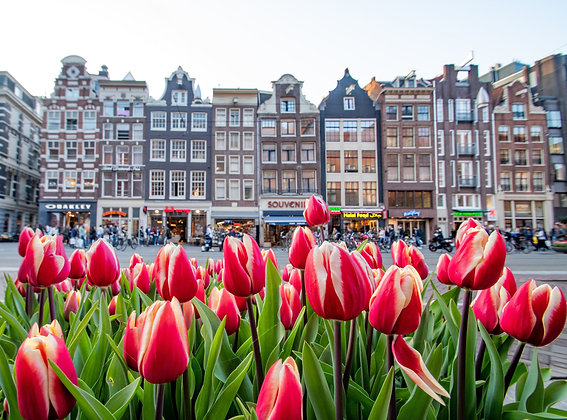Postcard Tulips in Amsterdam