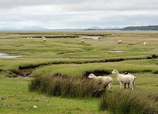 Welsh lambs, sheep grazing salt marshes