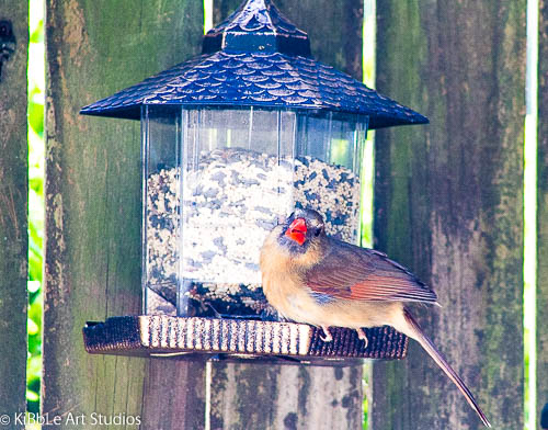 Female Cardinal in my Garden