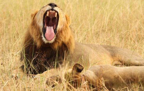 lions at ngamo