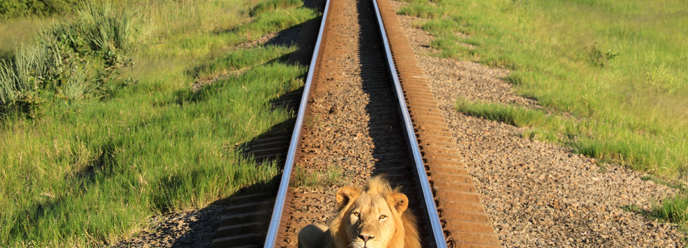 Green Season - Nqwele the Lion Stops the