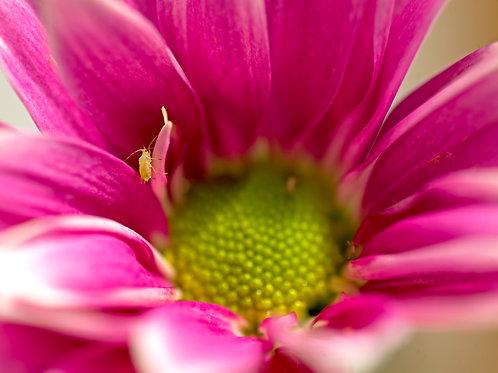 Pink Gazania with green bug