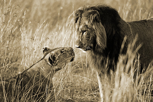 Love on the Serengeti (Large Print)