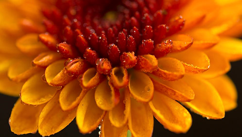 Yellow and Orange flower with water droplets