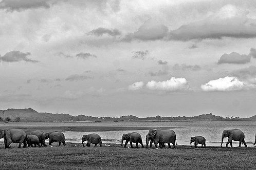 Elephant Parade To Water (Large Print)