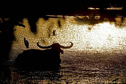 Buff in golden sunrise