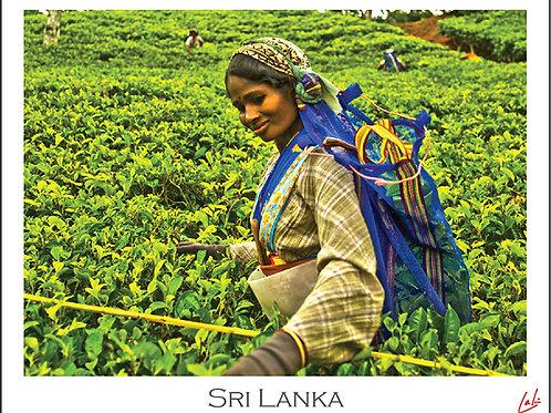 Tea Pluckers (Postcard)