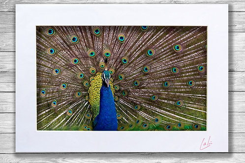 Ruffled Peacock (Matted Print)