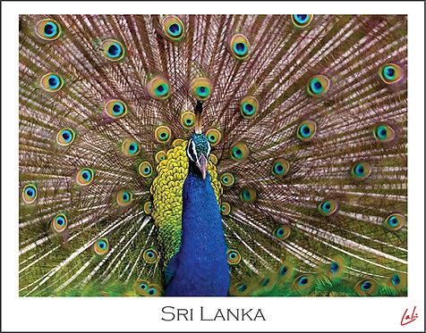 Ruffled Peacock (Postcard)