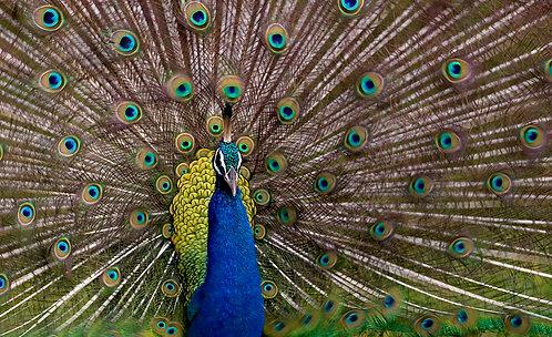 Ruffled Peacock