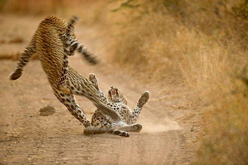 Leopards Mating (Large Print)