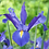 Thumbnail: Dutch Iris
