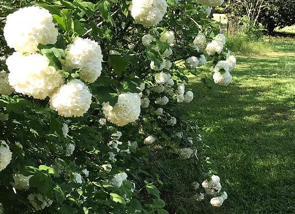 White Snowball Viburnum