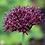 Thumbnail: Allium