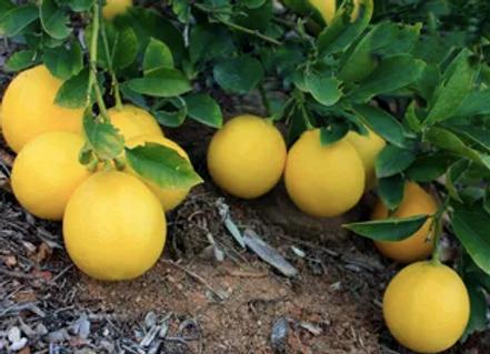 Myer Lemon Branch