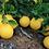 Thumbnail: Myer Lemon Branch