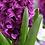 Thumbnail: Hyacinth