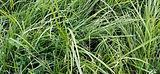 shutterstock_1551578063_Perennial Ryegra