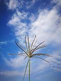Rhodes Grass Inflorescence.jpg
