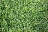 shutterstock_1353620030_Annual Ryegrass.