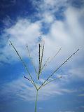 Smuts Finger Grass Inflorescence.jpg
