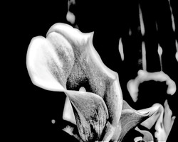 Calla Lily - White on Black