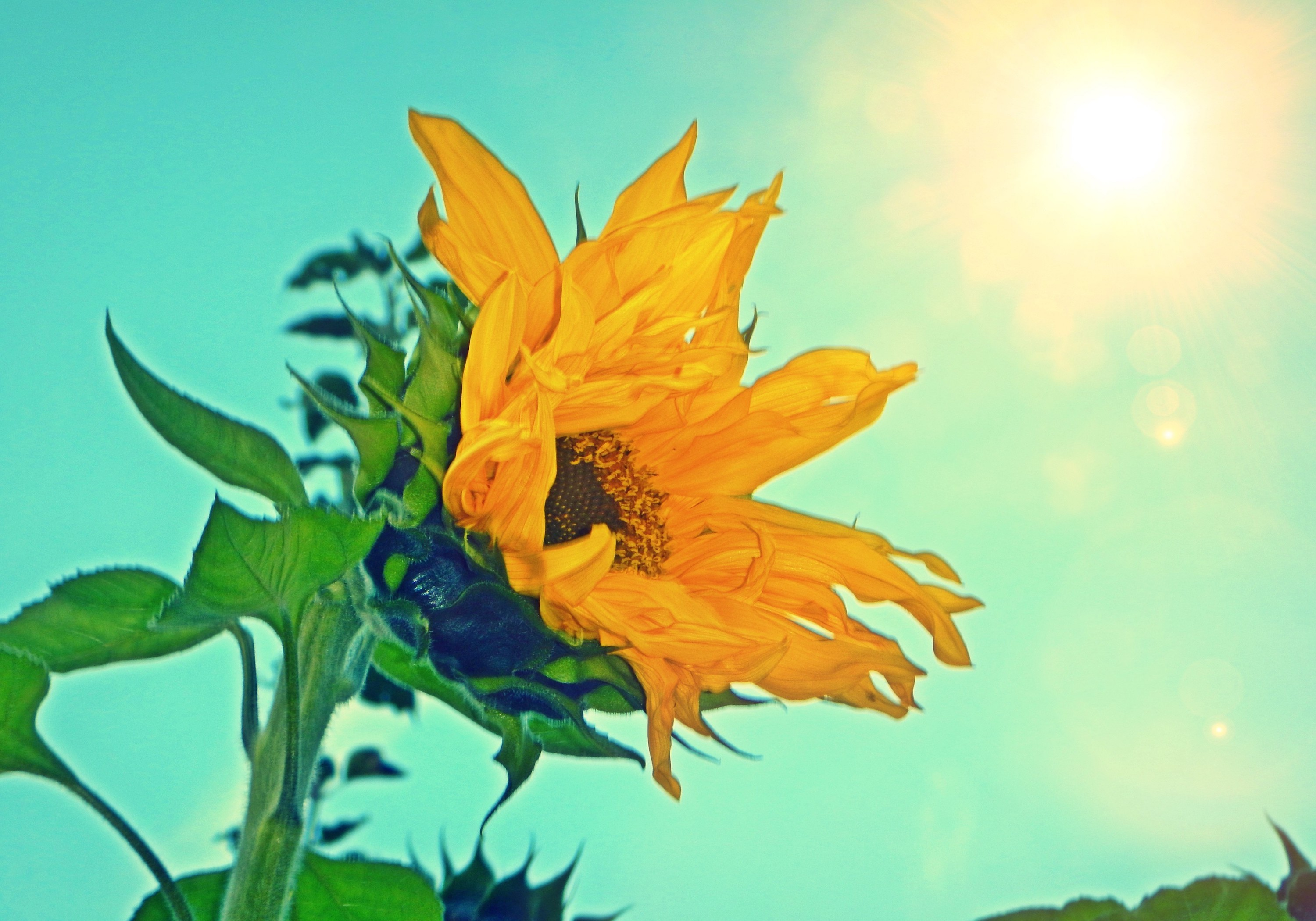 Basking Sunflower