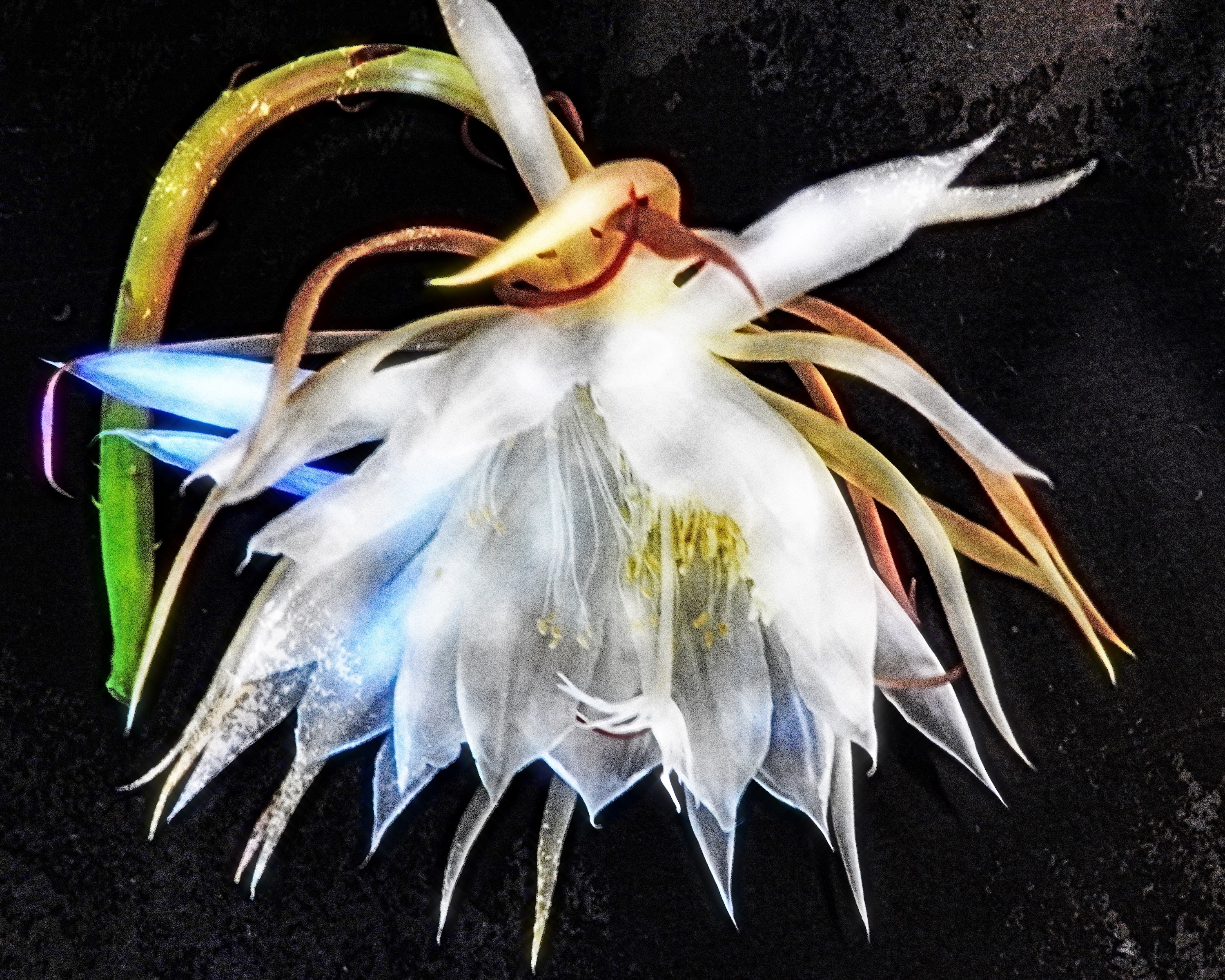 Dancing Queen (night-blooming cereus)