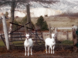 Two Goats at Farm Gate