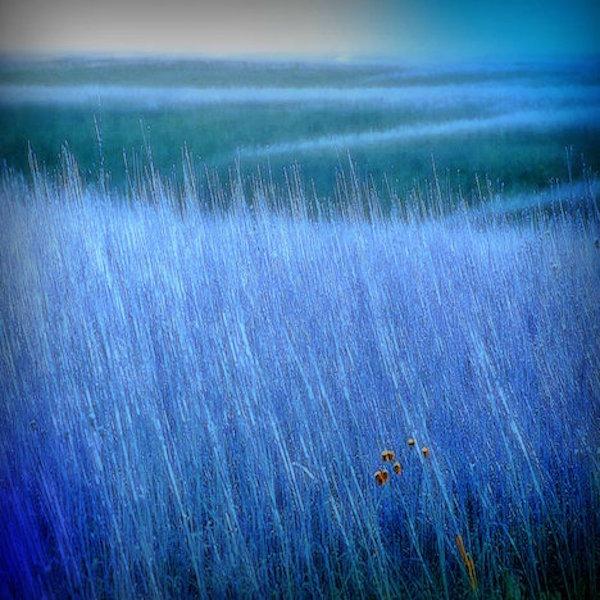 Alberta 'Blue' Grass
