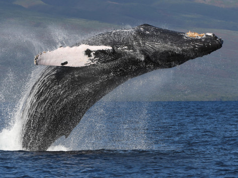 How to get the SHOT OF A LIFETIME. Maui Whale Watching