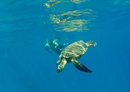 Maui Snorkeling Turtle